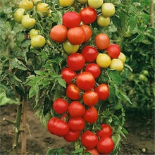 Load image into Gallery viewer, Tomato - Ailsa Craig - 12 x Plug Plant Pack