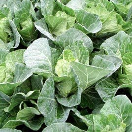 Cabbage Serpentine - 6 x Plug Plant Pack - AcquaGarden