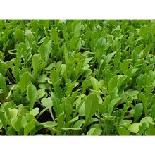 Charger l'image dans la galerie, Rocket - Large Plug Plants (6) - AcquaGarden