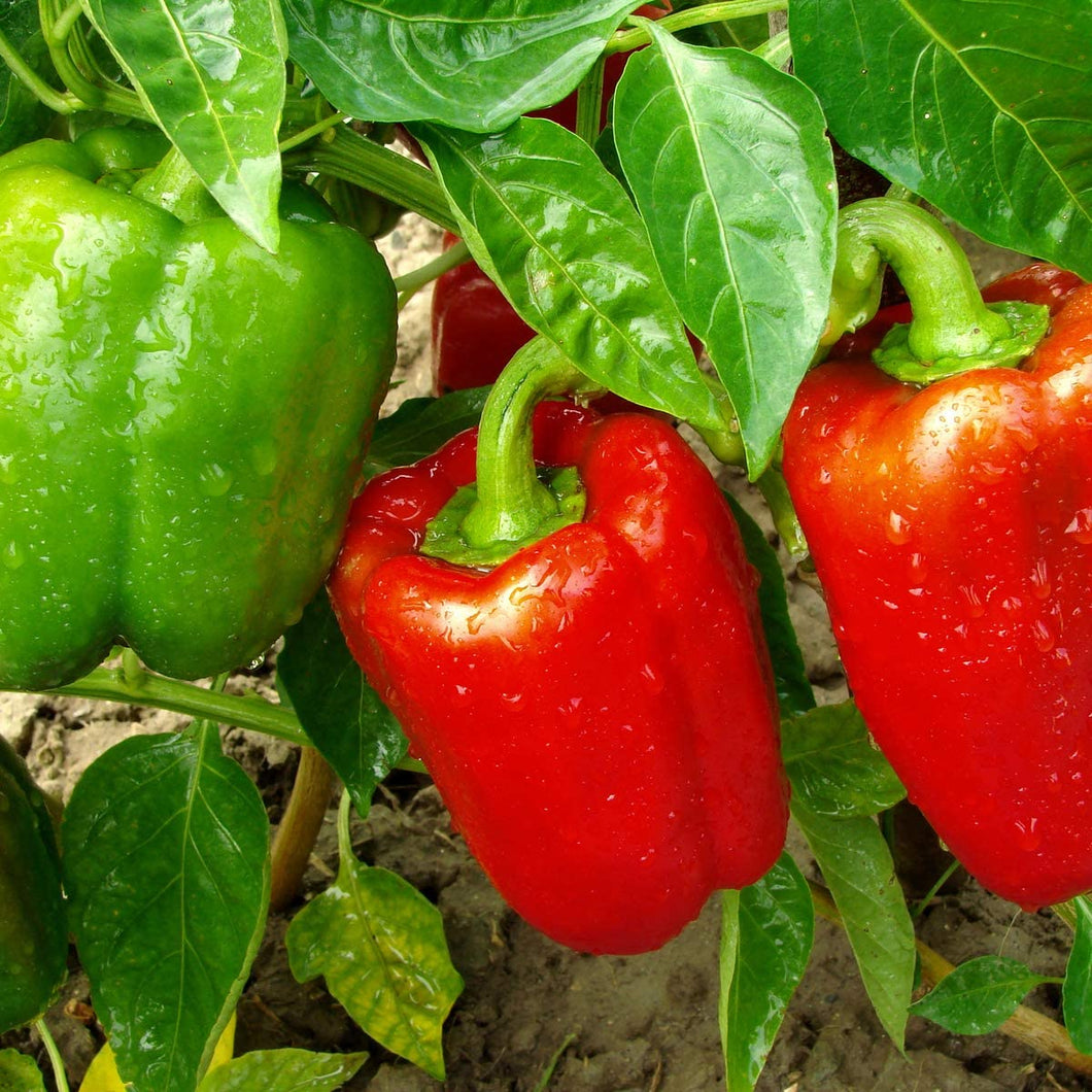 Sweet Pepper - Bellboy Red - 12 x Plug Plants - AcquaGarden
