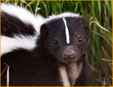 Load image into Gallery viewer, Skunk Jaw