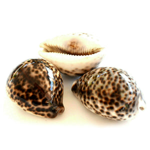 Spotted Cowrie Shells Set of 3