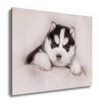 Gallery Wrapped Canvas, Cute Siberian Husky Puppy - Puptoria