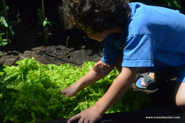 Harvest the Butter Lettuce