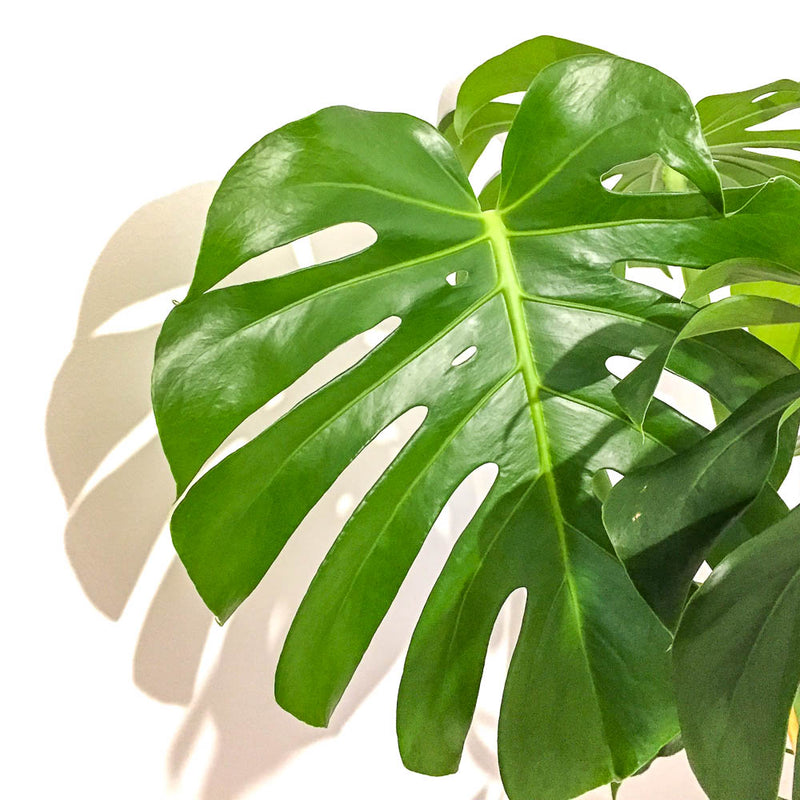 The Big Cheese - all you need to know about the Monstera Deliciosa