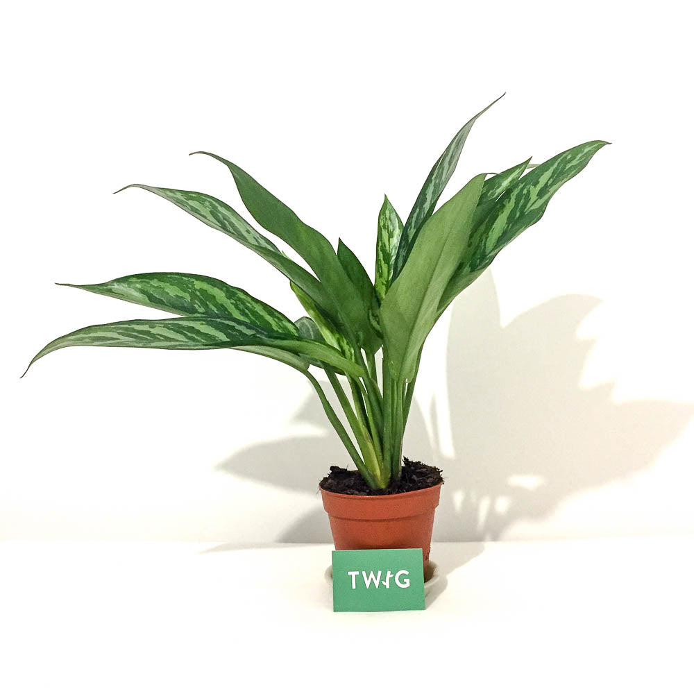 Plant - Chinese Evergreen