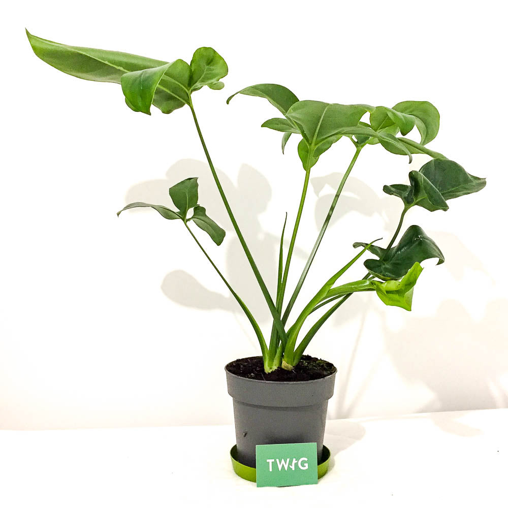 Plant - Philodendron 'Green Wonder'