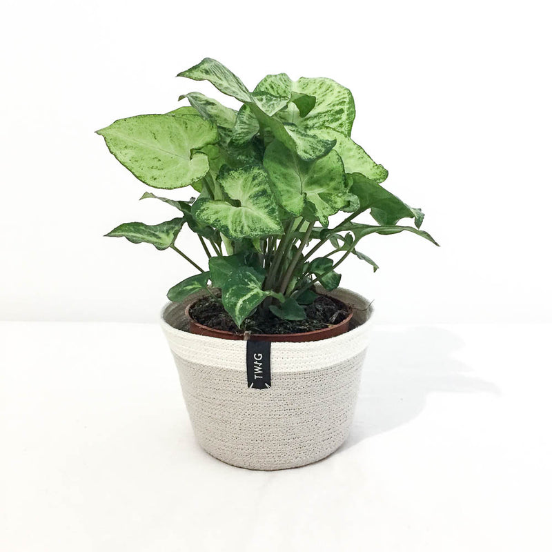 Twig Plants and Pots - Ivory concrete indoor plant pot