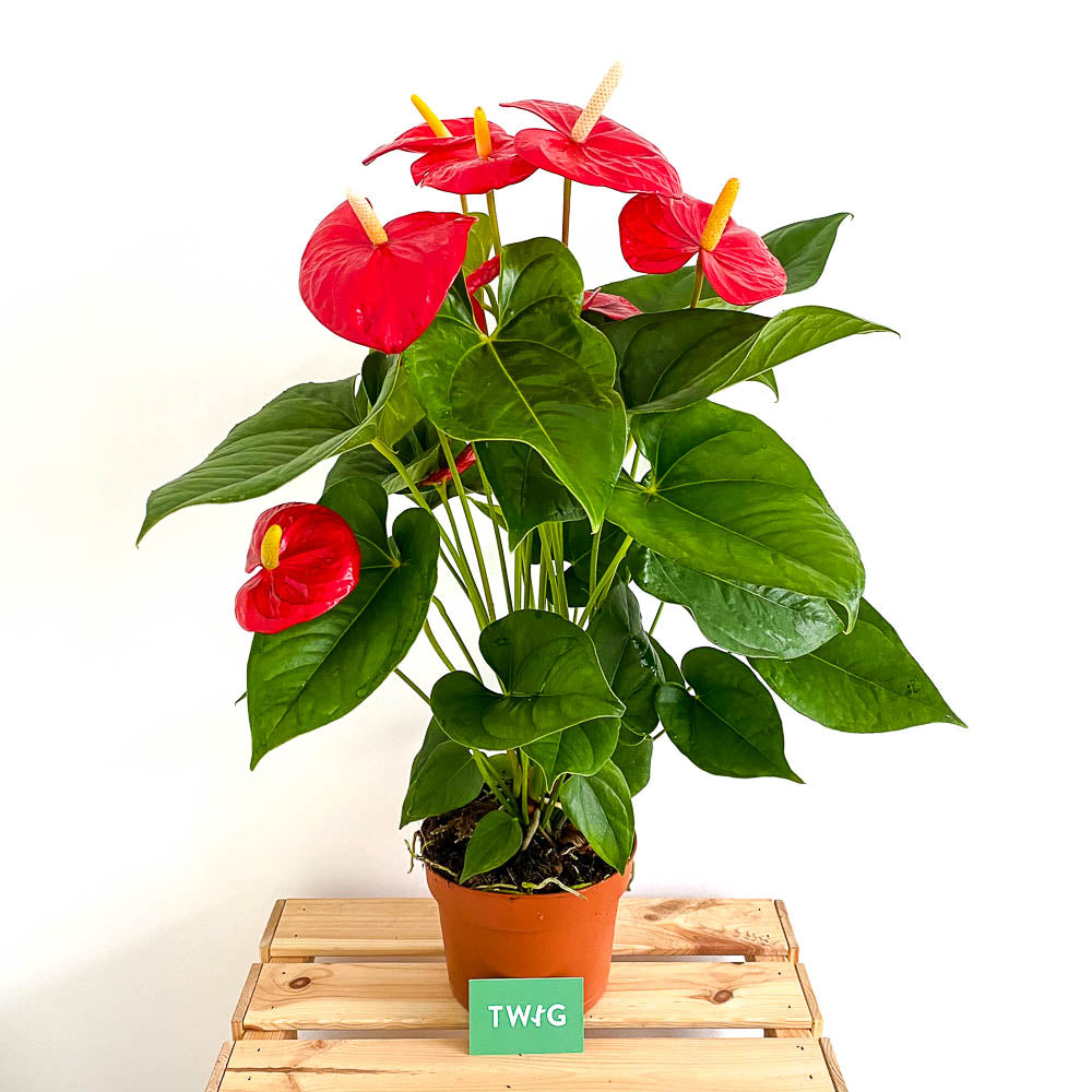 Plant - Anthurium 'Aloha Red'