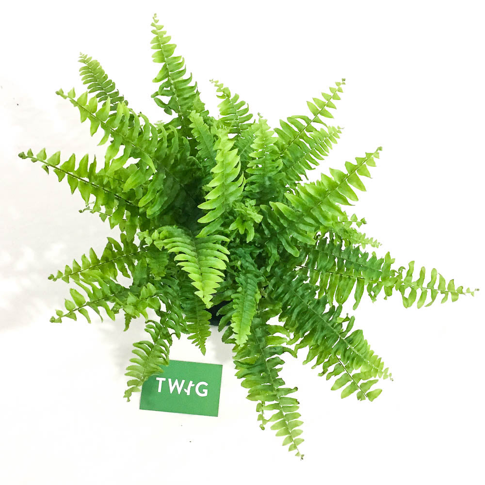Plant - Boston Fern