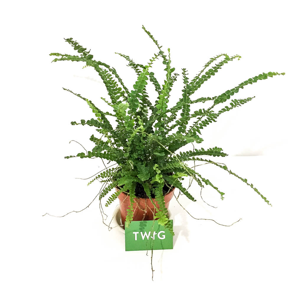 Plant - Button Fern