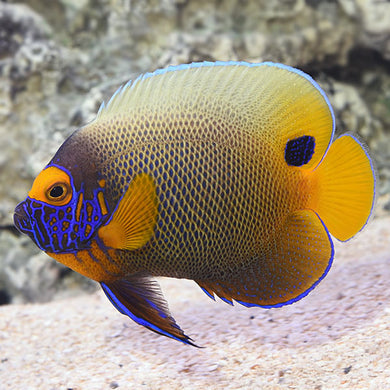 Blueface Angelfish Adult