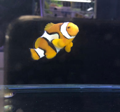 Clown Fish 4-5cm