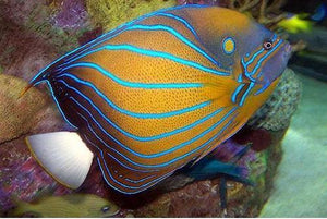 Blue Ring Angelfish - 10cm-12cm