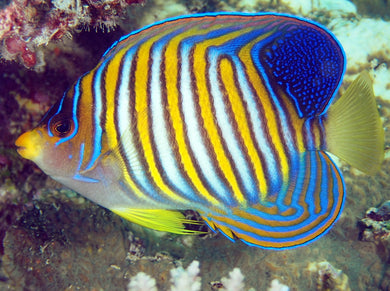 Regal Angelfish (Pacific)