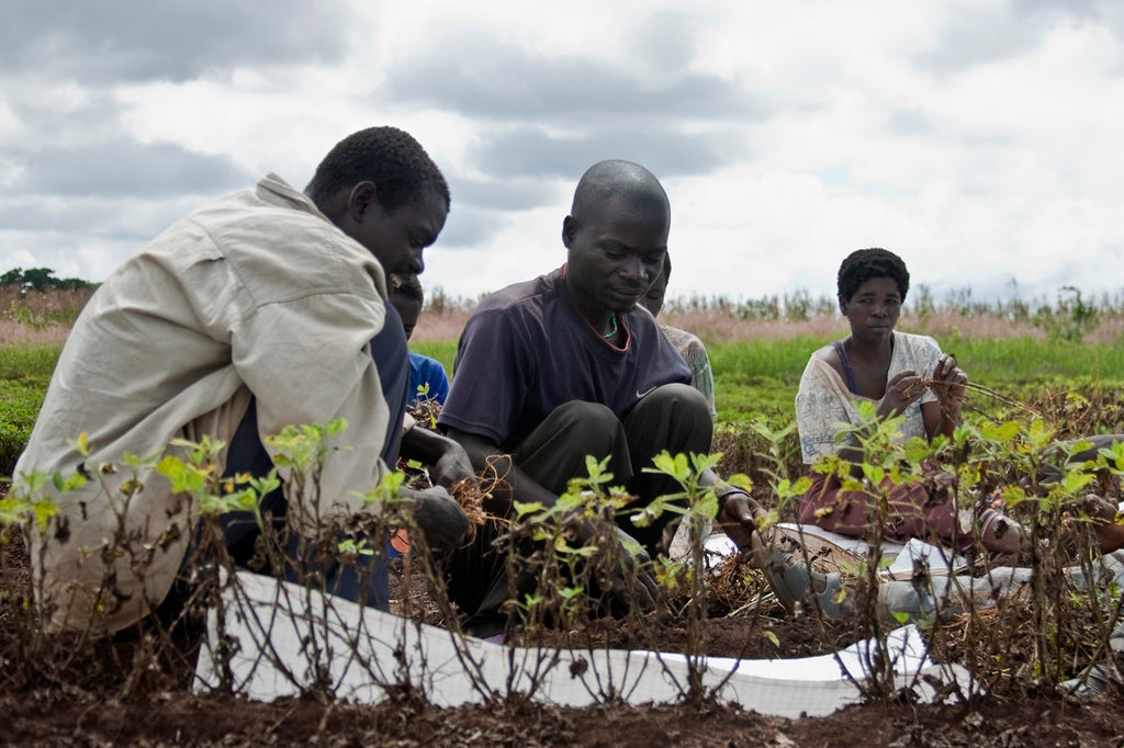 Image: Groundnut harvesting in Malawi