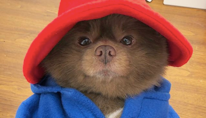 There is dog which looks exactly like Paddington Bear and we're IN LOVE!