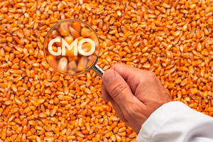 A scientist holding a magnifying glass over corn spotting GMO - Genetically Modified Organisms