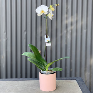 Tall Phalaenopsis Orchid with Ceramic Pot