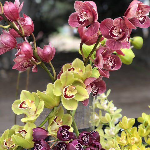 Cymbidium Orchard Stems