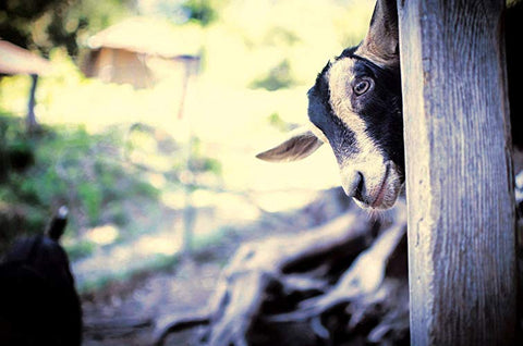 goat peeking around corner at fish princess farm