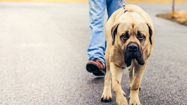How to Care for Big Dogs in NYC-Bonne et Filou
