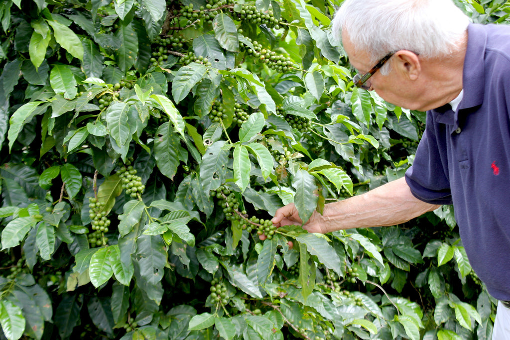 Kirk's dad, Vic, in the coffee farm fields checking green coffee cherries.