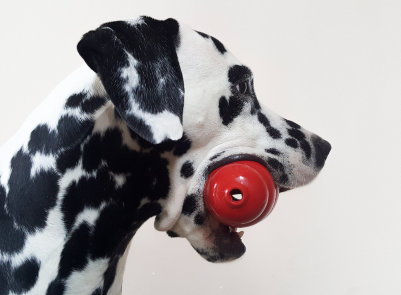 Dalmation holding red kong toy.
