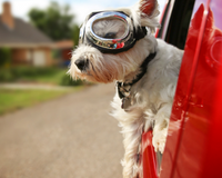 White West Highland Terrier wearing goggles leaning out of a red car