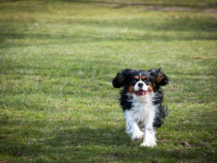 Small black and white cavalier king charles spaniel running on the lawn