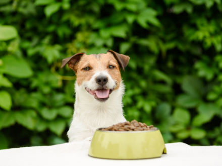 Small Jack Russel showing no sign of dog aggression with food bowl