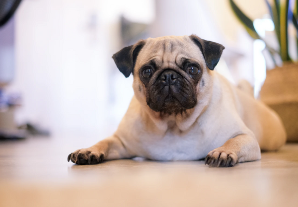 brown Pug laying on the floor