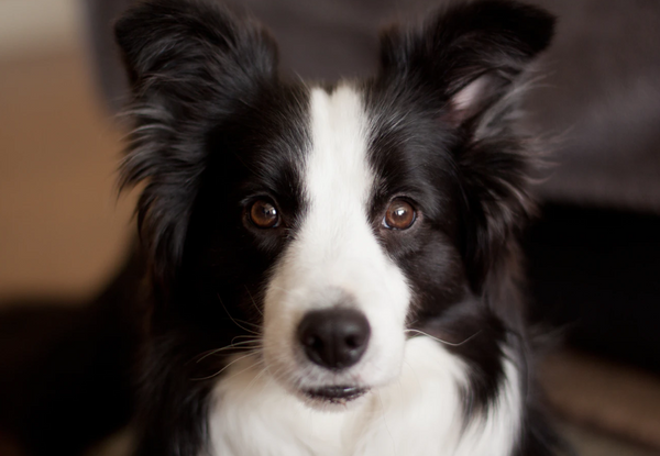 Black and white Border Collie looking straight into the camera