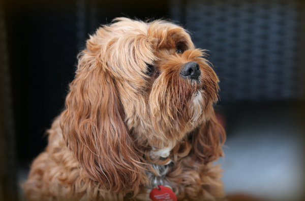 Brown cavoodle sitting and looking cute