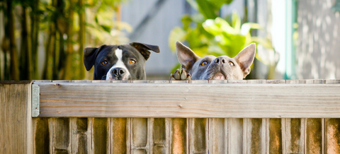 two dogs peeping over fence
