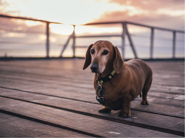 Small brown Dachshund standing on a deck