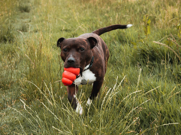 Staffy walking through the grass with a chew toy in its mouth