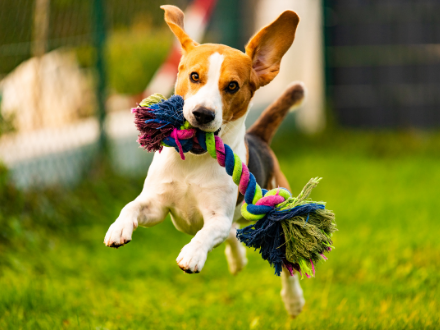 A small dog jumping in the air with a toy