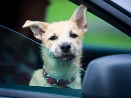 Small white dog peering out of a car window