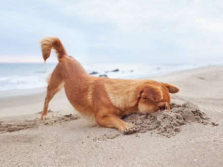 Small brown dog digging in the sand at the beach