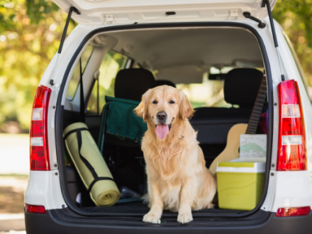 Golden Retriever dog sitting in the backseat of an open boot