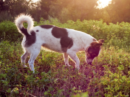Black and white dog sniffing grass