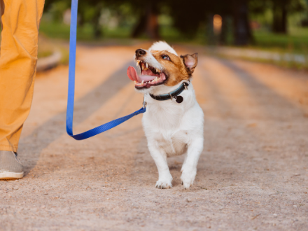 Jack Russell walking loosely on lead in park