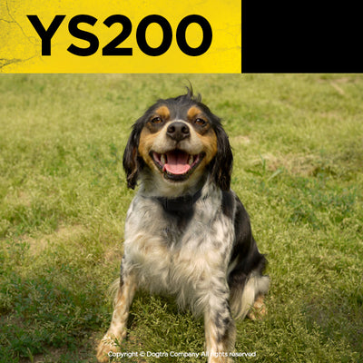 dogtra ys200 bark collar on a small, tiny dog