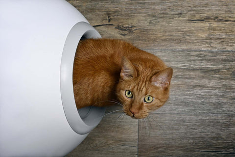 Ginger Cat Exiting Litter Tray