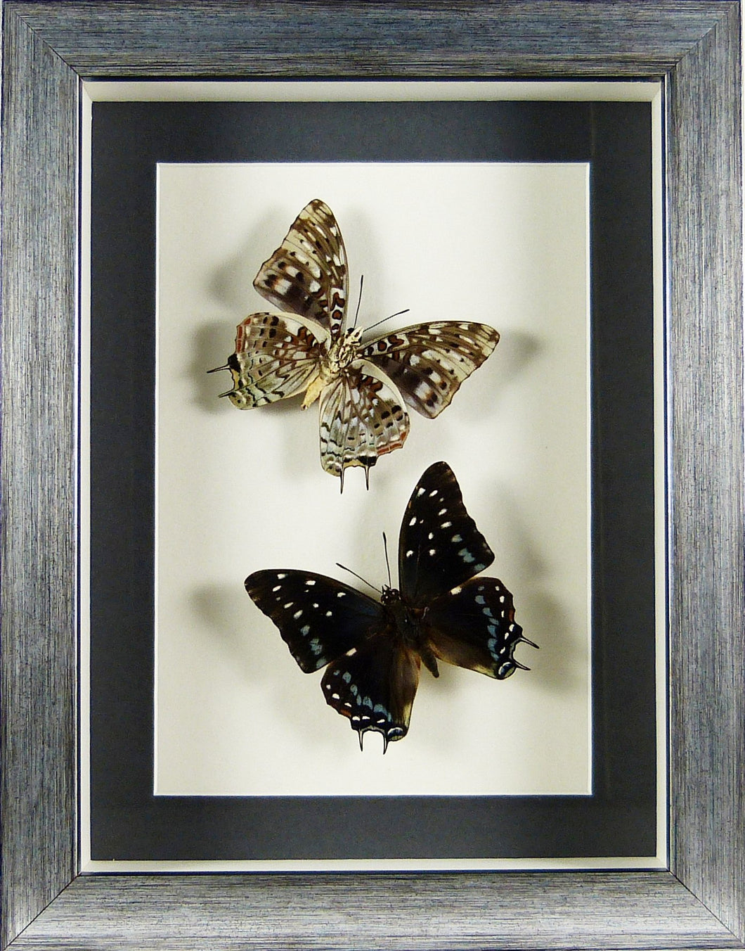 Papillons Charaxes etesipe recto & verso / Cadre argent