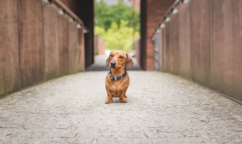 Dachshund dog standing on bridge with strong lead in lines
