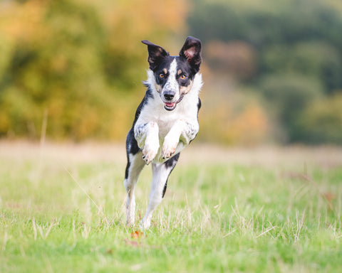 Collie dog running head on towards the camera