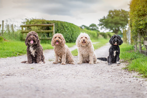 four dogs sitting in a row on a country lane