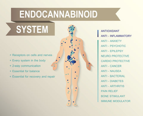 Image result for cannabis endocannabinoid system